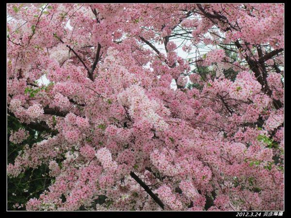 2012.3.24日門前櫻花變色