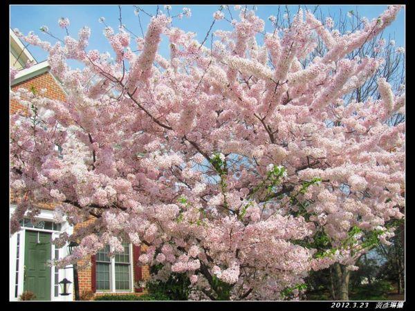 3月23日櫻花變色