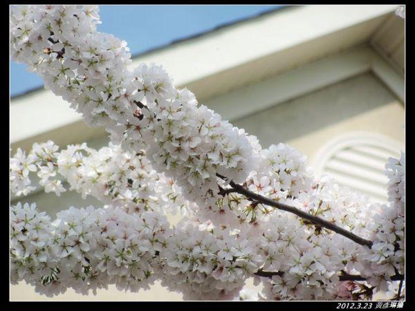 2012.3.23櫻花變色