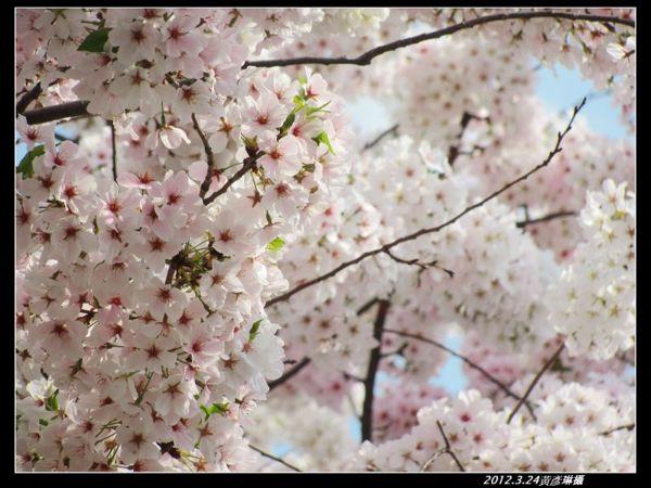 2012.3.24門前櫻花變色