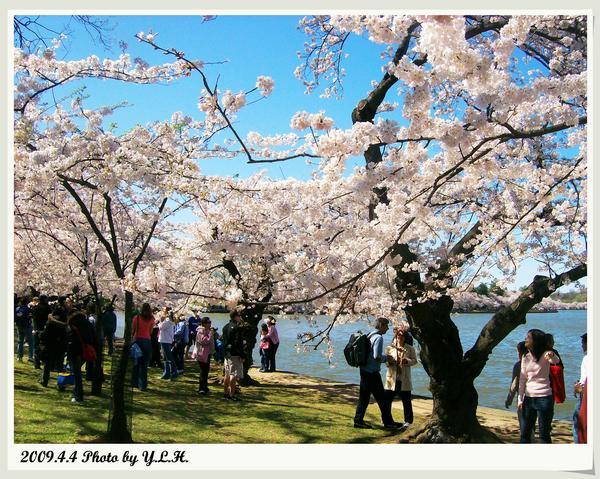 櫻花的萬種風情2