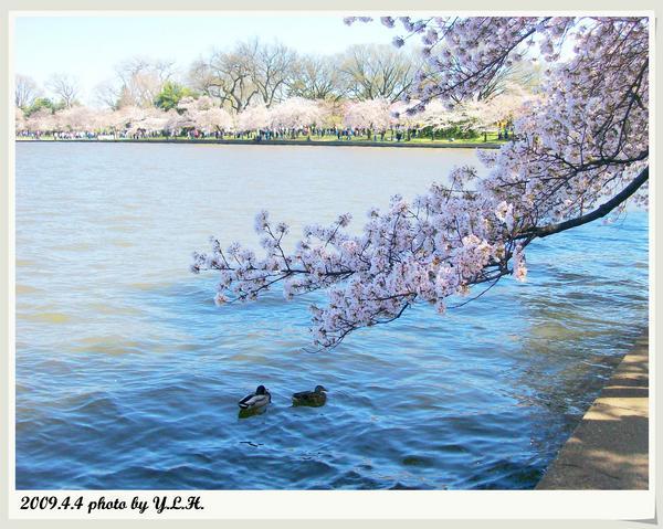 湖上的一對鴨子戀