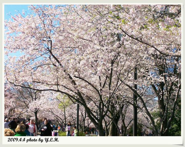 櫻花的萬種風情1