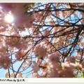 風情萬種的櫻花8