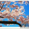 風情萬種的櫻花7