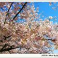 風情萬種的櫻花6