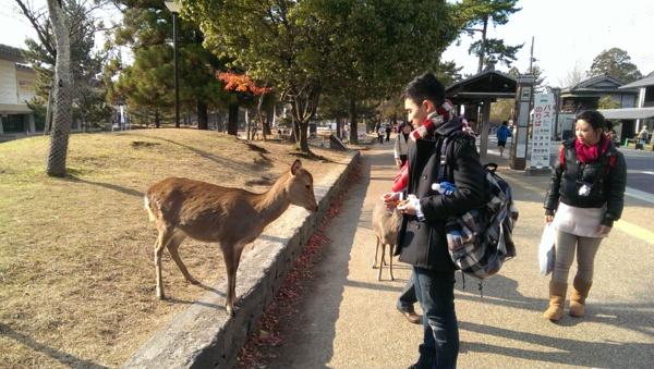 我們要去東大寺.可是半路遇到一群攬路的鹿.