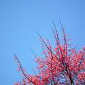 據聞這是一種日本槭樹,因為品種的關係, 初生的葉子就是紅通通,然後再漸漸轉綠。 所以各位看到的都是嫩葉,雖然無法比擬一般美型楓葉, 但也因此在末春的四月天,也能欣賞到如秋楓的景色。