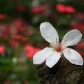 季節的美妝師 - 桐花 - 14