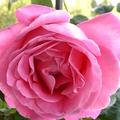 這些玫瑰花都是我的最愛 親自栽種的 花心有很濃的香味