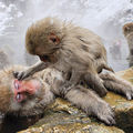 日本長野縣雪猴5