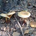 是的,就是來尋寶,尋這秋天才有的野生菇 雖然我分辨不出來有沒有毒,但是尋寶遊戲卻也吸引人