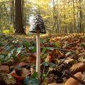 好個頂天立地,「蛋頭菇長高了!」  超可愛,超想帶走,但實在不知道有沒有毒,因此還是把他留在森林裡了