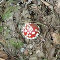 「這個我知道,超級瑪莉歐裡的超級魔力香菇!」  後經詢問,這可還真是個超級菇呢!  德國人稱它「飛天菇」,意思就是吃了它就可以飛上天  「飛上天做啥?」見上帝囉!這下看倌們了解了吧!