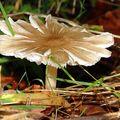 開了花的雨傘菇