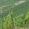 一大片、滿山滿谷的葡萄園