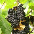 由於紅葡萄需要充分的陽光,因此農民們大多種植白葡萄