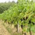 德國以白葡萄酒居多,但仍有少數紅葡萄點綴其中