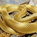 難得一見的黃金24K活蛇