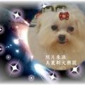 瑪爾濟斯犬ˋ博美犬ˋ短毛吉娃娃 雪那瑞ˋ長毛臘腸ˋ短毛臘腸ˋ約克夏 全部都是 人氣NO1.的寵物犬 人見人愛唷
