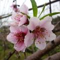 娘家哥哥種的桃子