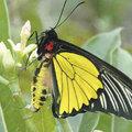 被票選出來 台灣最漂亮的保育類蝴蝶 珠光黃裳鳳蝶 要好好保護牠喔!!因為所剩不多了