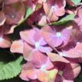 Miss村上寄來的繡球花,說五月的日本非常雨季.