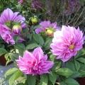 雖說數大便是美,不過這兒的花只能單獨看,看整體就失望了!