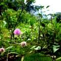 小小的含羞草花。