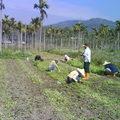 有機生態農法~用手除草、此區種植魚腥草