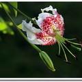 艷紅鹿子百合每年七月下旬~十月初,綻放出世界級花容的花朵,是台灣國立自然科學博物館的館花,且被譽為「亞洲最美麗的百合花」。