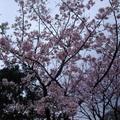金瓜石黃金博物館有美麗的櫻花,還有令人憑弔的百年古蹟。