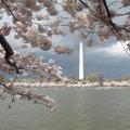 華府國建聯誼會、華府臺大校友會、華府政大校友會將於四月二日到DC的〝潮汐水盆〞(Tidal Basin)共賞櫻花的綻放繽紛。