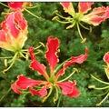 百合科嘉蘭屬的蔓性宿根草本植物,原產非洲至南亞熱帶地區,有數個原生種。橘紅色的嘉蘭花,有著像火焰一般反卷的花瓣,故稱火焰百合。