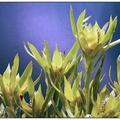 陽光又名非洲鬱金香,枝態優美,葉呈花狀,有果實,為立體有形獨特的花材,花期長。 產期: 夏秋 產地: 澳洲