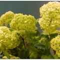 花苞大小: 一球一球小花 長度: 150~180公分 花材用法: 塊狀花 瓶插期: 7-10天 產期: 春 產地: 荷蘭