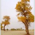 千年不倒的胡楊木