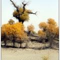 沙漠裡的胡楊林