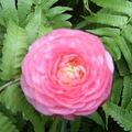 盛開的花兒──是她一生中之最美, 也是她逐漸邁向凋零的起步。﹝我想幫她留住最美──用相片﹞