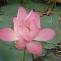 這些蓮花都是紫衣親手種植的蓮花^^和大家分享紫衣每天看見蓮花開起時的喜樂~~太陽越大!蓮花開的越美喔!希望大家常來看不同風采的蓮花^^
