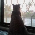 貓咪愈大似乎也愈懶! 二伯家中的老大─咪寶 (coffee)