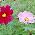 大花波斯菊的雨天微笑