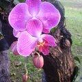 這是Mr.楊 努力辛苦栽培的蘭花,終於在2008年的5月努力盛開。