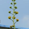 龍舌蘭開花,高高在上