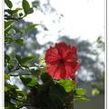 木槿(大紅花) - 國花 - 馬來西亞