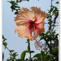 粉紅色的木槿 - 波德申鴕鳥園 - 馬來西亞