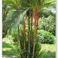 紅色樹皮棕櫚樹 -波德申鴕鳥園 - 馬來西亞