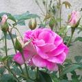 2011年初夏,黃玫瑰正在逐漸綻開, 這樣的嫩黃色真是賞心悅目啊!