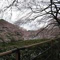 賞櫻景點:上野 新宿御院 千鳥之淵 中目黑 佑天寺 多摩川公園