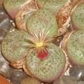 這種石生花的故鄉在南非,葉子像石頭可以亂真。